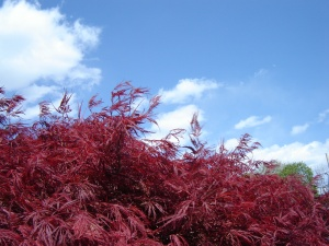 042912_Japanese_Maple_3