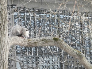 possum_near_Harvard_Square