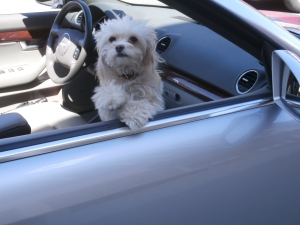 rogue-dog-in-convertible