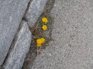 dandelions-in-april