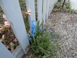 blue scylla
