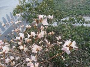 small rhodadendron