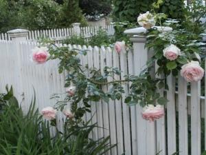 rose-says-hello