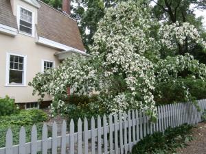 rain-pummeled-dogwood