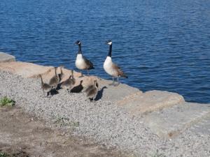 canada-geese-goslings