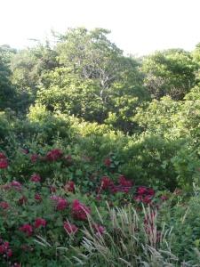 roses-growing-wild