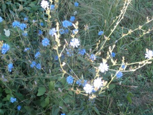 ragged-sailor-chicory