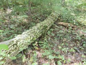 scaly-snake-log