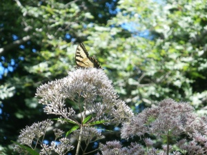 10-fott-weed-and-swallowtail