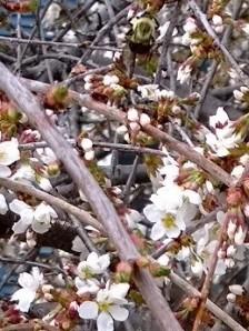 bee-in-weeping-cherry