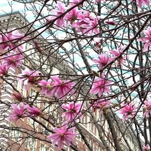 flowering-tree-Bostonl