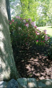 dappled-rhodies