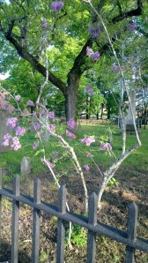 lilac-in-graveyard