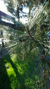 pine-branches