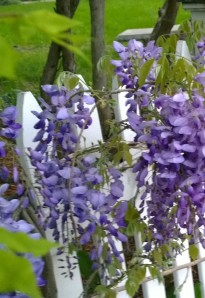 wisteria-at-dawn