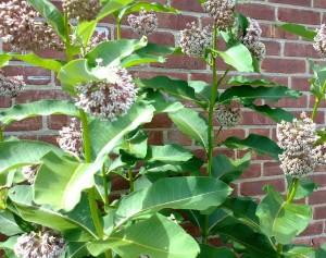 milkweed-with-bees