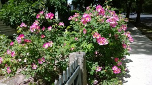 roses-on-fence