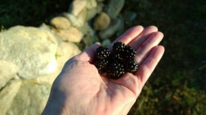 blackberries-by-the-wall