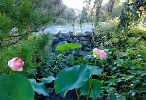 lotus down-the-street-bloomed-082814