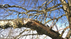 011114-tree-branch-Concord