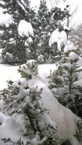 012715-snowy-bushes