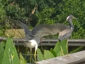 great-blue-herons-florida