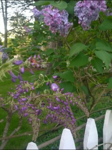 lilac-and-wisteria