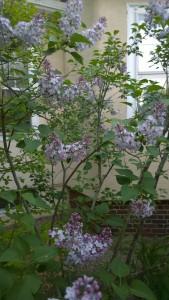 more-lilacs