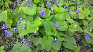 purple-violets