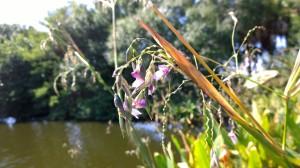 swamp-flower-Florida