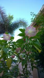 trumpet-lily-Florida