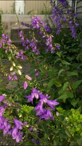 wildflowers-bell-like