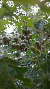 072515-acorns