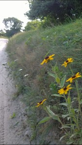 080115-black-eyed-susans