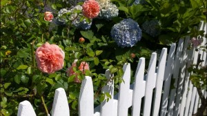 080815-rose-and-hydrangea
