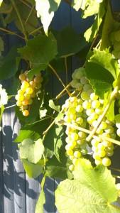 081915-grape-close-up