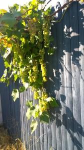 081915-neighborhood-grapes