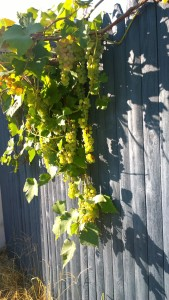 081915-neighborhood-grapes