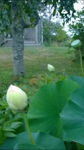 082215-lotus-bud