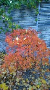 110115-lovely-orange Japanese-maple