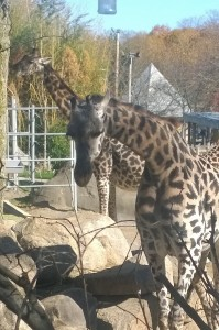 110815-giraffes-at-Roger-Wms-Zoo