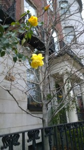 111915-rose-on-Beacon-Hill