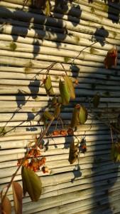 011716-shadow-berries
