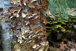 031816-fungus-on-stumps