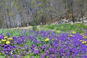 042416-violet-carpet-Lincoln-Mass