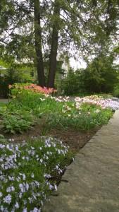 051316-catalog-worthy-tulips-Concord-MA