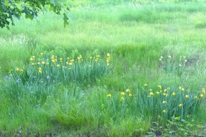 060416-yellow-iris-in-wetland