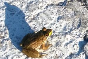 072316-New-Shoreham-frog