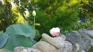 080416-lotus-on-Lakeside