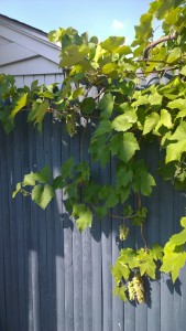 081116-grapes-in-Concord